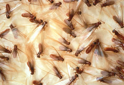 termite treatment cost
